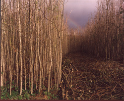 direct coppice